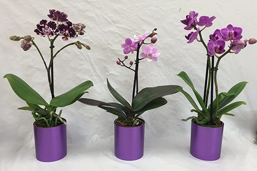 trồng hoa lan trong chậu
