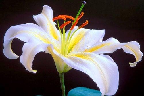 Hoa Lily tưới công nghệ cao