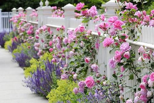 Ban Công Xanh hướng dẫn kĩ thuật trồng hoa hồng leo