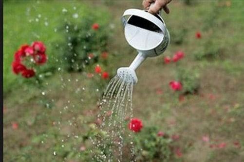 Tưới nước cho hồng leo - Ban Công Xanh
