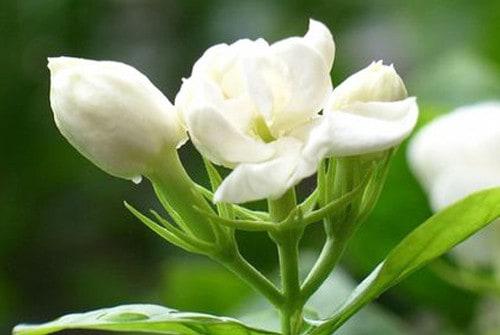 Hoa nhai đượm hương