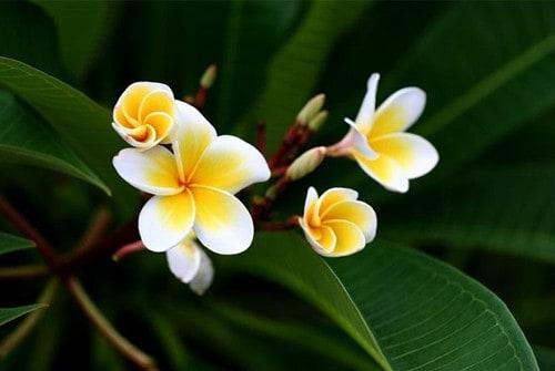 Hoa sứ trắng trong