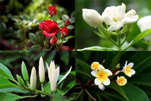 Những loài hoa có mùi thơm dịu dàng
