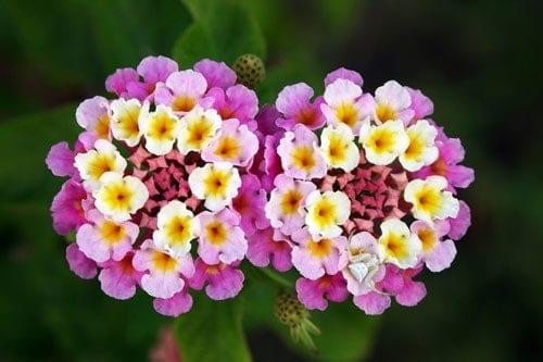 Hoa ngũ sắc rực rỡ sắc Xuân