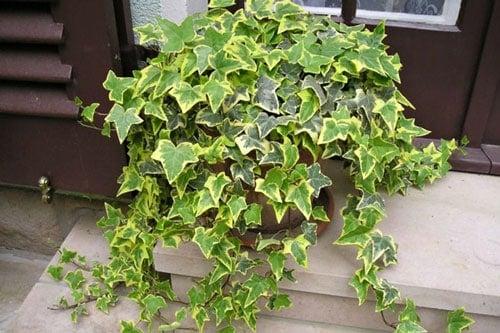 Cây thường xuân được trồng nhiều vào dịp Tết