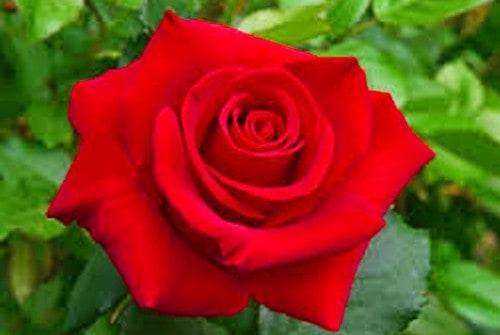 Hoa hồng với sắc đỏ nguyên thủy