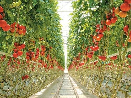 trồng cà chua trong nhà kính - nông nghiệp công nghệ cao