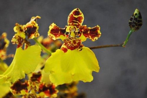 Lan Oncidium vàng đẹp