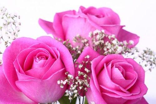 Bệnh sương mai trên hoa hồng