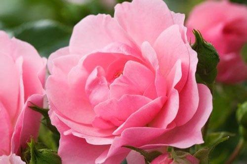 Nét đẹp hoa hồng và phụ nữ