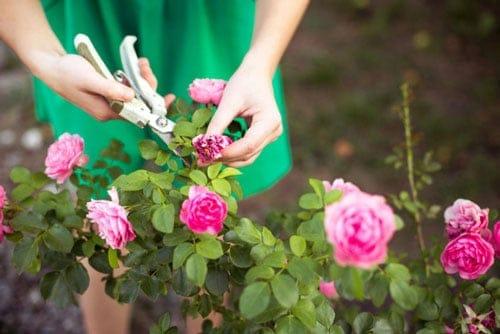 Lựa chọn loại kéo phù hợp để cắt tỉa cành cho hoa hồng