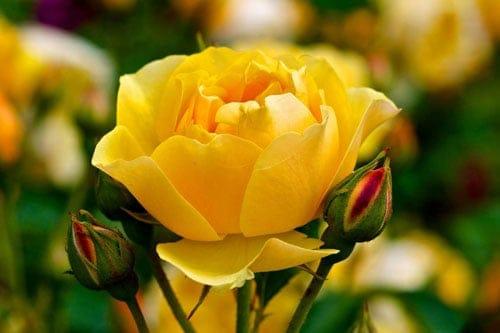Sâu bệnh cũng ảnh hưởng đến quá trình ra hoa của hoa hồng
