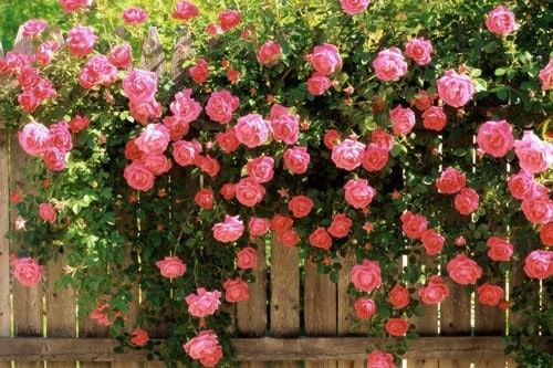 Chăm sóc hoa hồng leo vào mùa nắng nóng