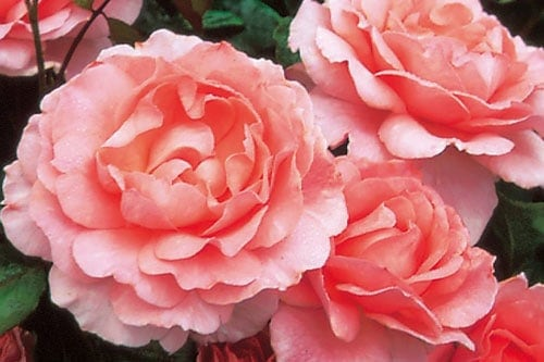 cách trồng hoa hồng cho người mới biết trồng hoa
