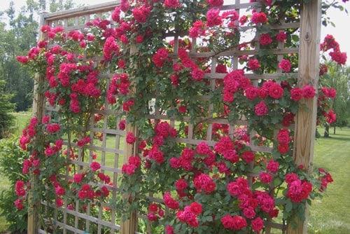 Chăm sóc hoa hồng leo vào mùa hè