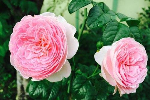 Để hoa hồng ra hoa phải chú ý đến cách bón phân cho hoa hồng