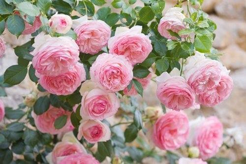 Trồng hoa hồng leo tô điểm ban công