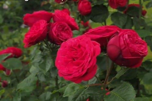 Hoa hồng leo dạng chùm