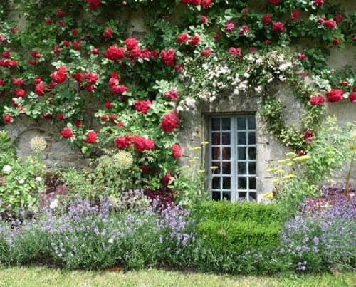 Hoa hồng leo có thể sống vào mùa hè?