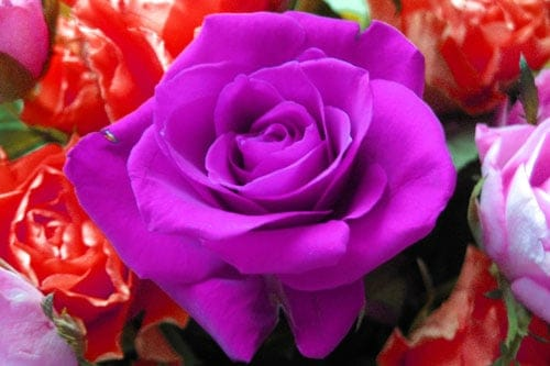 Hoa hồng tím tặng phụ nữ