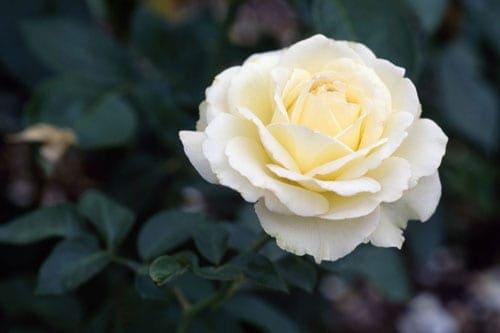 """Hoa hồng đỏ Đây là loài hoa tượng trưng cho tình yêu nồng nàn và mãnh liệt. Hãy dành tặng bó hoa hồng đỏ tươi thay lời nói: """"I love you"""" cho người vợ yêu hay người ấy của mình. Hoa hồng tím Bên cạnh sự sang trọng vốn có, hoa hồng tím còn thể hiện lòng say mê, chung thủy, và là tình yêu mãnh liệt ngay từ cái nhìn đầu tiên. Hoa hồng trắng Đây là màu hoa tượng trưng cho tình yêu thuần khiết, thanh cao và quý phái. Màu hoa này còn có ý nghĩa một tình yêu thầm lặng, đơn phương. Hoa hồng xanh Hoa hồng xanh đại diện cho tình yêu bất diệt, một tình yêu chung thủy và bền lâu theo thời gian. Màu xanh- một màu xanh của trời và biển đi liền với cảm giác sâu thẳm, vững vàng và yên bình. Nó còn là màu của sự trung thành, tin tưởng, thông thái, sự tự tin, thông minh. Hoa hồng vàng Nhiều người cho rằng, hoa hồng vàng là biểu tượng cho lòng không chung thủy, ngoải ra nó còn tượng trưng cho một chuyện tình đơn phương, vô vọng. Tuy nhiên, hoa hồng vàng còn tượng trưng cho tình bạn chân thành, cho sự tin tưởng và niềm vui. Do đó, hãy chắc chắn bạn đang có ý gì và tìm hiểu rõ ý nghĩa của loài hoa này trước khi tặng nếu không muốn người ấy giận bạn thật lâu đó nhé! Hãy tìm hiểu ý nghĩa của từng màu hoa trước khi tặng để những người phụ nữ bạn yêu thương nhất có một ngày 8/3 ý nghĩa và có những kỉ niệm khó quên, bạn nhé!"""