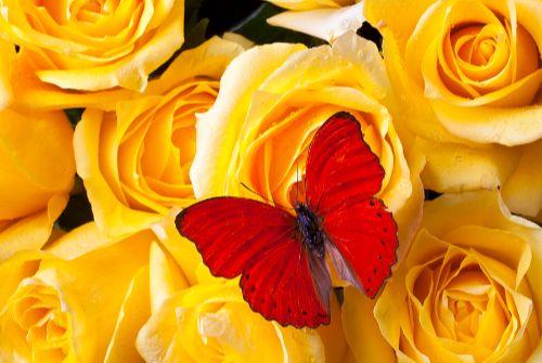 Hoa hồng vàng - Ấm áp yêu thương hay Ghen tuông phản bội