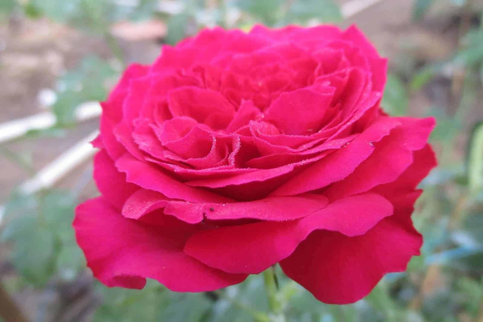 ý nghĩa hoa hồng đậm