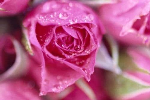 Mỗi màu sắc của hoa hồng là một thông điệp tình yêu