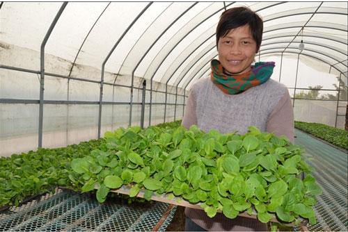 Nông traị trồng rau sạch chị Cuối làm ở Đài Loan