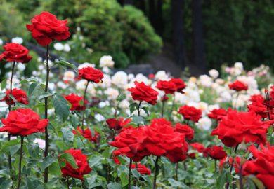 Vườn hồng rực rỡ ra nhiều hoa