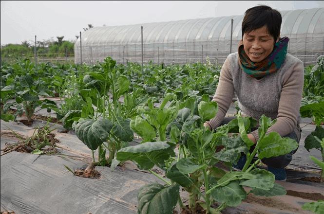 Nông trại rau sạch xứ Đài mà chị Cuối đang làm