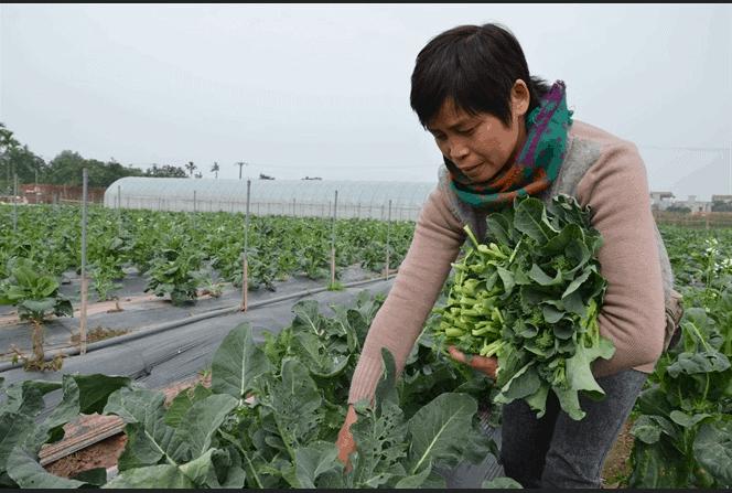 Chị Cuối đang thu hoạch rau sạch
