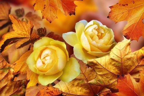 Ý nghĩa của loài hoa hồng vàng
