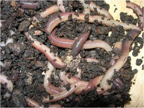 Phân trùn quế tốt cho cây và đất
