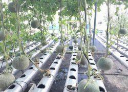 Vườn dưa lưới thủy canh