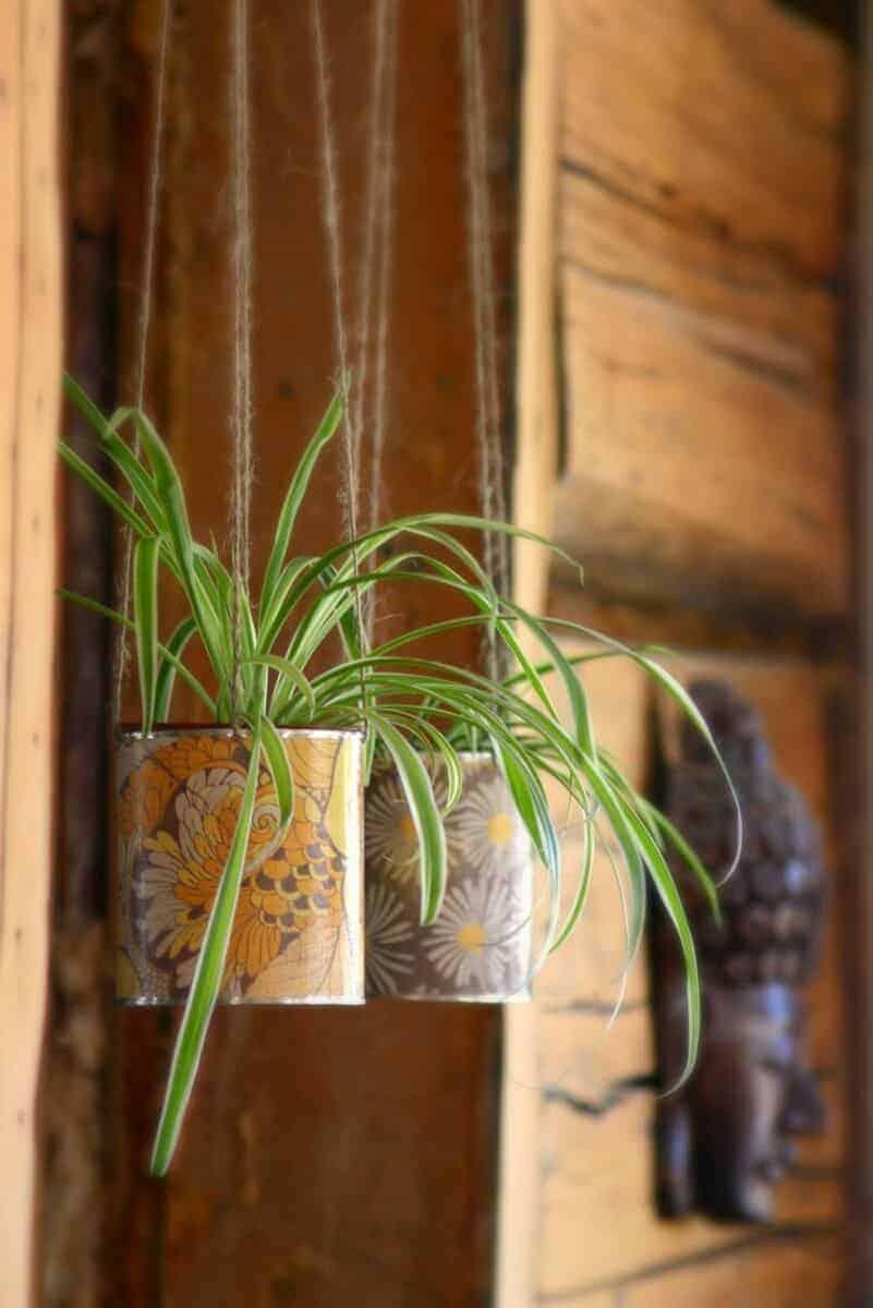 Cây nhện có thể sống trong phòng thiếu ánh sáng