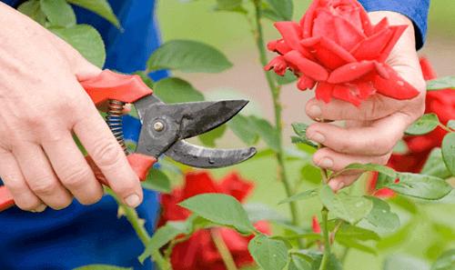 Bạn đã cắt tỉa hoa hồng đúng cách chưa
