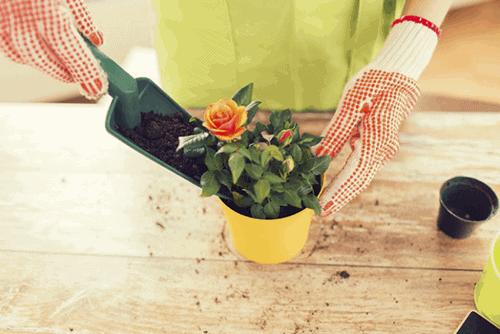 Tu tay trong gia the cho cay hoa hong ban da thu chua