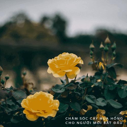 Hướng dẫn cách chăm sóc hoa hồng cho người mới bắt đầu