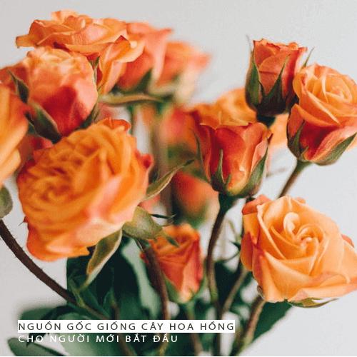 10 cách chăm sóc hoa hồng cho người mới bắt đầu