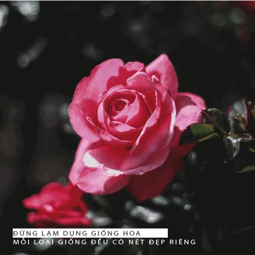 Hướng dẫn chăm sóc hoa hồng