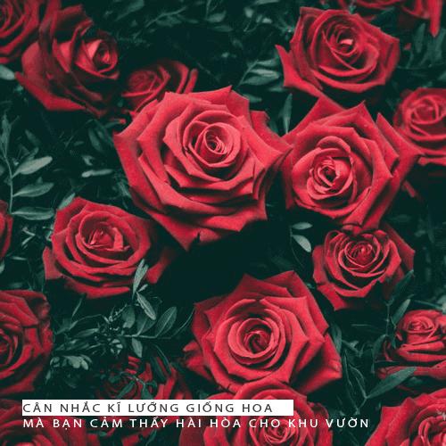 Chăm sóc cây hoa hồng cho người mới bắt đầu như thế nào?