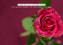 Hướng dẫn chăm sóc hoa hồng cho người mới trồng 01