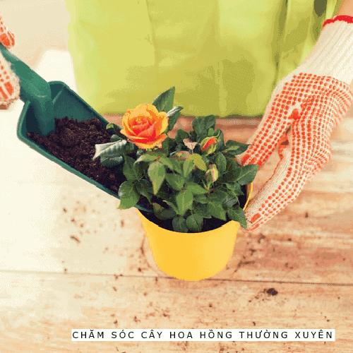Hướng dẫn chăm sóc cây hoa hồng cho người mới bắt đầu
