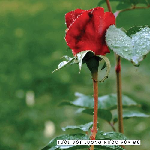 Hướng dẫn chăm sóc cây hoa hồng cho những người mới bắt đầu trồng