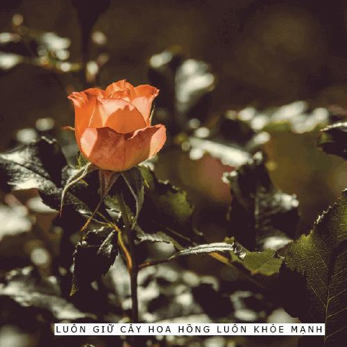 Hướng dẫn chăm sóc cây hoa hồng cho những người mới bắt đầu trồng 01