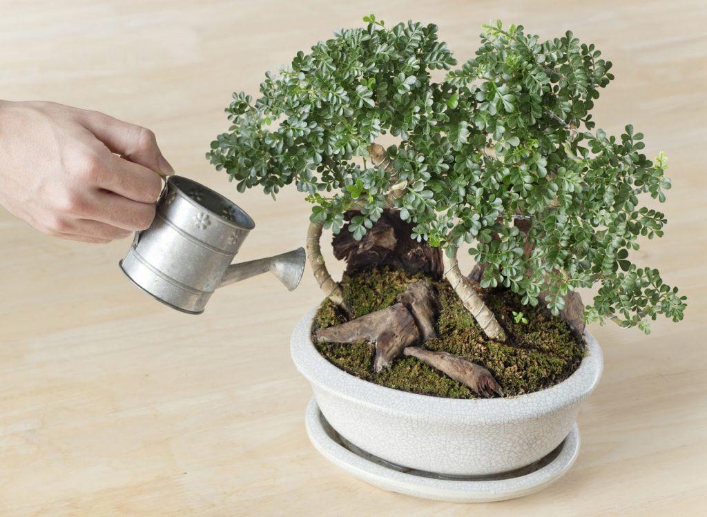 phân-dê-cho-cây-bonsai