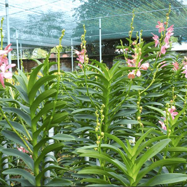 cách trồng lan mokara trong chậu 5