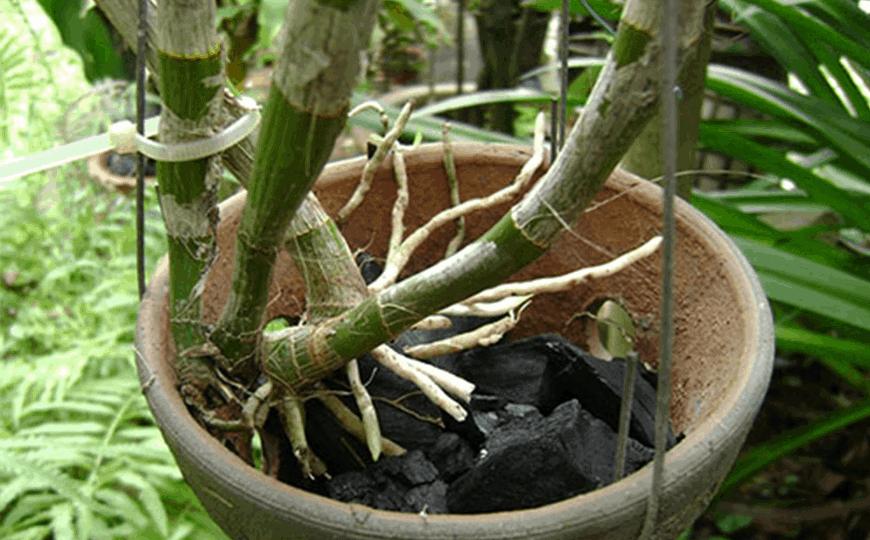 cách khắc phục lan đai châu không ra rễ