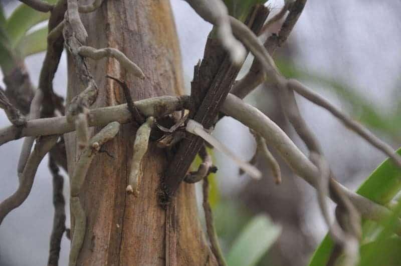 Cách ghép lan NGọc Điếm vào gỗ 5